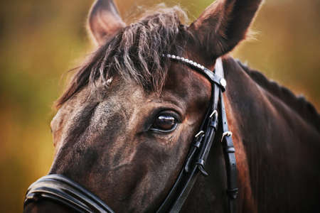 Close-up portrait of a beautiful bay horse with a leather bridle on its muzzle in the summer. Equestrian sports.