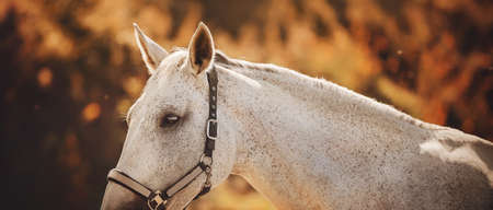 A beautiful gray horse with a halter on the muzzle walks among the trees with red leaves on an autumn sunny day. Livestock. September.