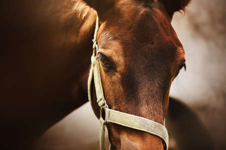 Portrait of a cute bay colt with a halter on his muzzle, standing next to his mother and illuminated by sunlight. Equestrian life. Livestock. Reklamní fotografie