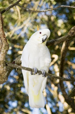 Lesser Sulpher Crested Cockatoo in a sanctuary