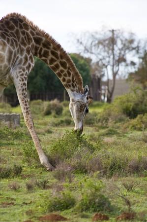bending down: Una jirafa de pastoreo por agacharse para llegar a algunos arbustos bajos.
