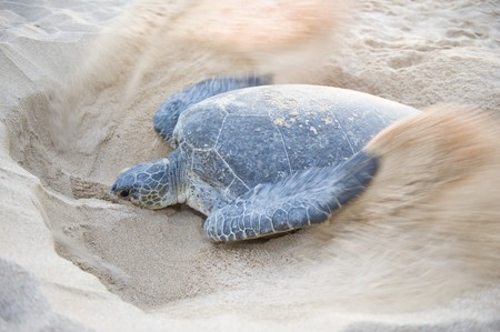 An endangered Green Back Turtle busy closing a nest after laying eggs.