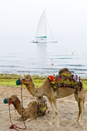 Two camels standing on a beach with a sailboat anchored in the background. Stock Photo - 4744158