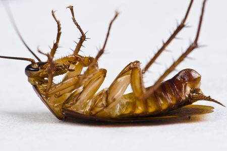dead insect: A dying cockroach lying on its back on a white tissue. Stock Photo