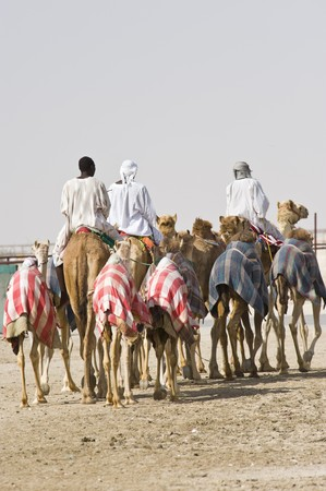 Camels at the races.  A popular sport in Doha, Qatar and the rest of the Middle East photo