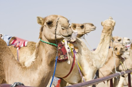 saddle camel: Camels at the races.  A popular sport in Doha, Qatar and the rest of the Middle East