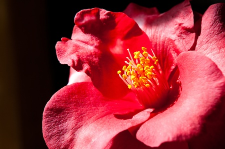 japonica: A beautiful Camelia Japonica that is in full bloom, shot with natural window light.