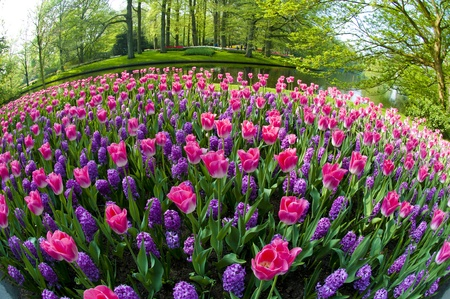 keukenhof: Some beautiful flowers growing during the early spring in the Netherlands, taken with a fisheye lens.