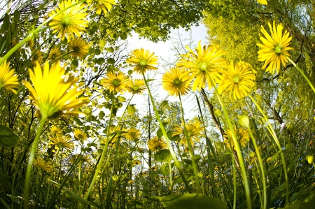 Some beautiful daisies growing during the early spring in the Netherlands, taken with a fisheye lens from ground level.