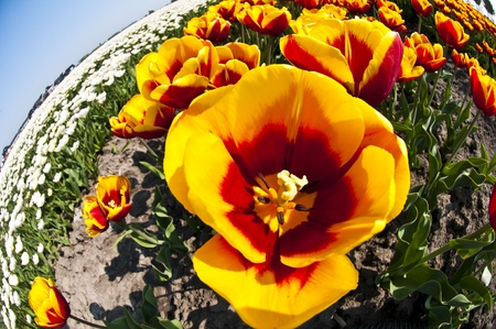 An extreme wide angle fisheye view to the inside of a tulip - artistic. photo
