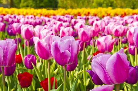 Vividly colored beautiful flowers in the early springtime. Stock Photo