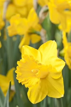 Yellow daffodil in full bloom photo