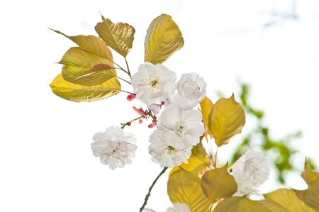 Beautiful Japanese Cherry blossoms newly opened in the early Spring, etched against the sky. Stock Photo - 9868156