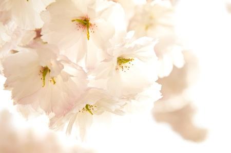 High key Japanese Cherry blossoms photo