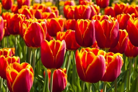 Beautiful tulips in springtime photo