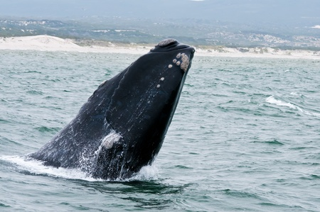 A Southern Right Whale breaching just off the coast of Hermanus in South Africa.