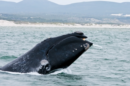 Southern Right Whale breaching the surface