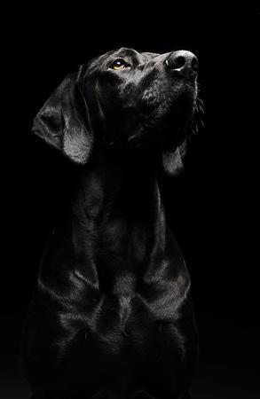 black dog portrait in studio
