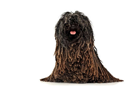 Hungarian breded dog Puli sitting in the studio Stock Photo