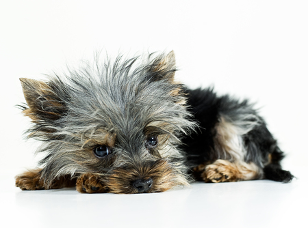 lieing: Yorkshire terrier dog lieing down in a studio Stock Photo
