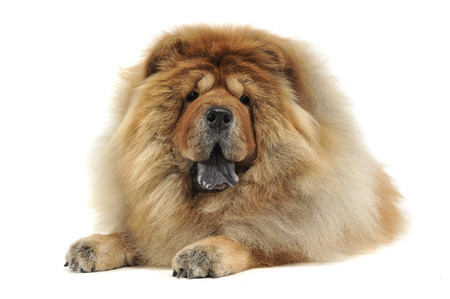 chow: chow chow relaxing in a white background Stock Photo