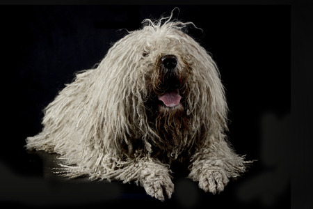 white Puli in a dark background Standard-Bild