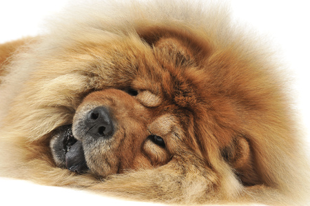 chow: resting chow chow