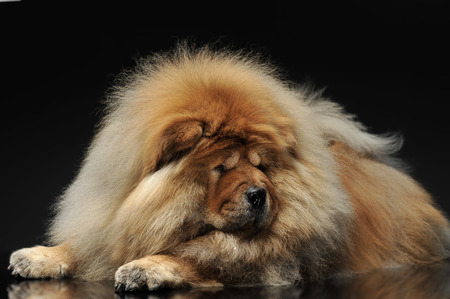 chow: Chow Chow looking down in a dark studio Stock Photo