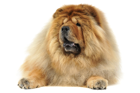chow: lying chow chow Stock Photo