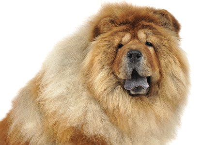 chow: chow chow sitting Stock Photo