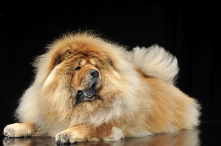 chow: chow chow lying on the reflection floor Stock Photo