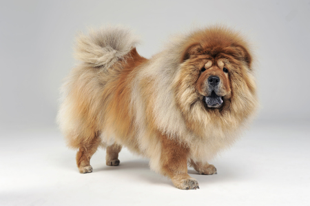 chow: chow chow in white