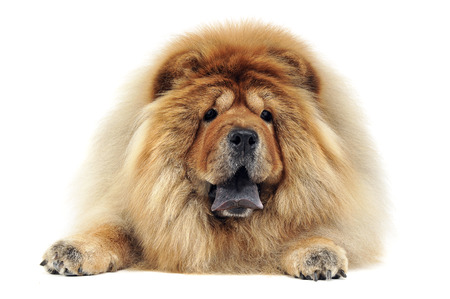 chow: chow chow relaxing