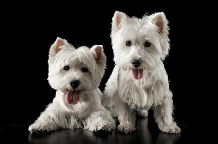 highlander: Dos Highlander del oeste Terrier en el estudio oscuro