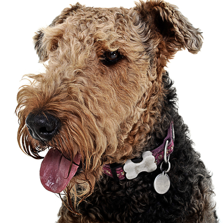 airedale terrier dog: Airdale portrait in studio with white background