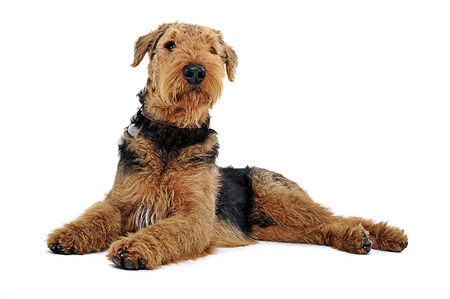 airedale terrier dog: Airedale Terrier lying on the white studio floor and looking up