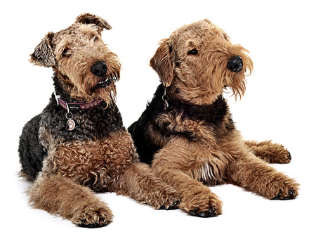 airedale terrier dog: Two Airdale Terrier are looking to the same direction Stock Photo