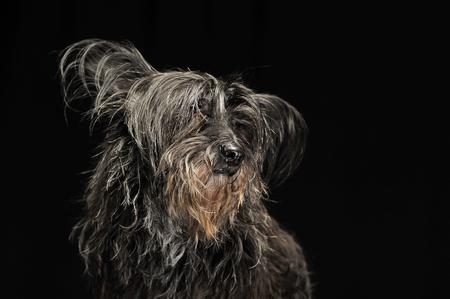 cur: black fur dog in a dark studio Stock Photo