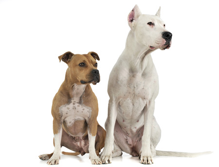 Dogo Argentino and staffhordshire terrier sitting in white studio Stock Photo
