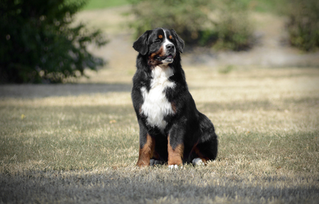 berner: Bernese Mountain Dog sitting on the ground