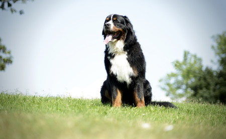 berner: Bernese Mountain Dog in the park
