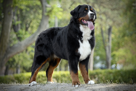 Bernese Mountain Dog in the park