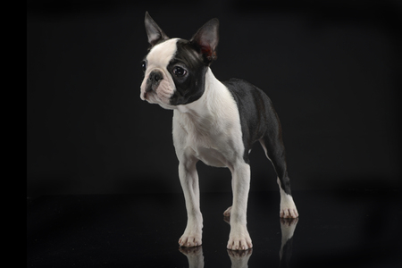 funny boston terrier: Puppy Boston Terrier staying in the darkness Stock Photo