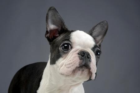funny boston terrier: Puppy Boston Terrier portrait in studio