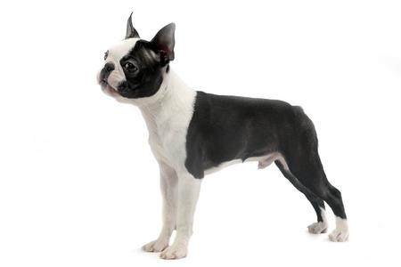 funny boston terrier: Boston Terrier standard in white studio