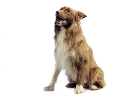 border collie: Border Collie sitting in the white background