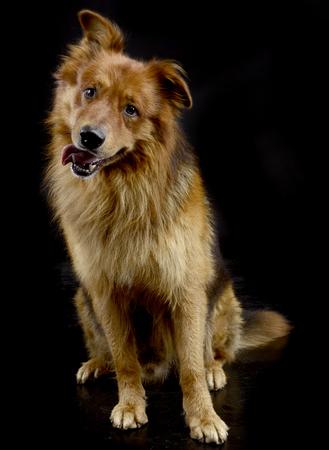 Perro marrón sentado en el estudio oscuro boca abierta Foto de archivo