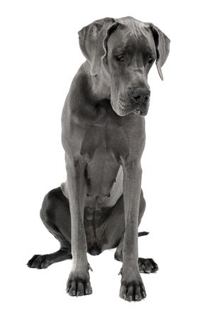 Great Dane sitting in the white studio floor