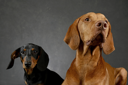 vizsla: dachshund and Hungarian Vizsla in a studio