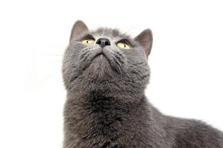 brit: Blue Brit Cat in a white studio